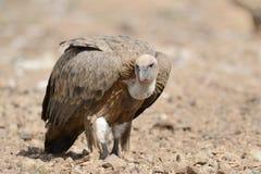 Passeio do abutre de Griffon Imagem de Stock Royalty Free