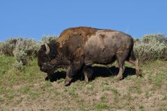 Passeio do búfalo imagens de stock royalty free