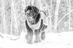 Passeio do cão de Terra Nova foto de stock
