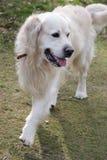 Passeio do cão do Retriever Imagem de Stock Royalty Free