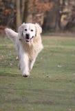 Passeio do cão do Retriever Imagens de Stock Royalty Free