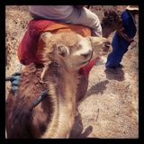 Passeio do camelo Imagem de Stock