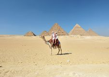 Passeio do camelo por pirâmides de Giza Foto de Stock