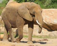 Passeio do elefante africano imagens de stock