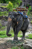 Passeio do elefante (Phuket, Tailândia) Fotos de Stock