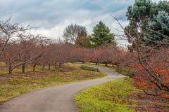 Passeio do enrolamento com árvores de cereja Fotografia de Stock