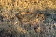 Passeio do filhote de leão Foto de Stock Royalty Free