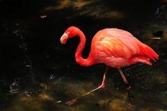 Passeio do flamingo Imagens de Stock