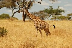 Passeio do girafa Fotografia de Stock
