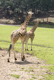 Passeio do girafa Imagens de Stock Royalty Free
