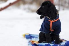 Passeio do inverno de cocker spaniel Imagem de Stock Royalty Free