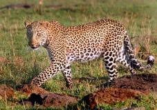 Passeio do leopardo imagem de stock