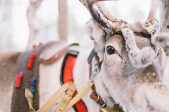 Passeio do trenó da rena em Lapland imagem de stock royalty free