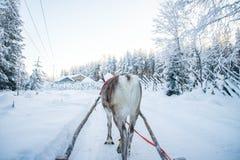 Passeio do trenó da rena do inverno em Lapland, Finlandia imagem de stock