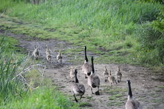 Passeio dos gansos & dos ganso Fotografia de Stock