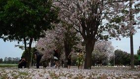 Passeio e visita dos viajantes dos povos tailandeses e do estrangeiro que olham o rosea de Tabebuia ou a árvore de trombeta rosad vídeos de arquivo