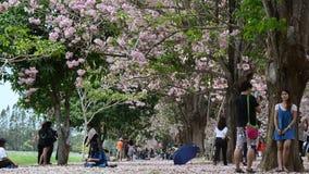 Passeio e visita dos viajantes dos povos tailandeses e do estrangeiro que olham o rosea de Tabebuia ou a árvore de trombeta rosad filme
