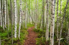 Passeio em um bosque do vidoeiro foto de stock
