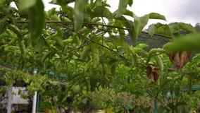Passeio em um jardim tropical Frutos de Maracuya ou de paixão video estoque