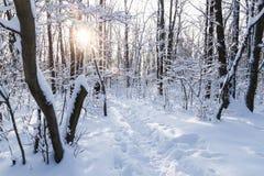 Passeio em uma floresta nevado ensolarada do inverno, montes de neve, neve em ramos de árvore, por do sol fotos de stock