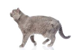 Passeio escocês grande do gato Isolado no fundo branco Fotos de Stock