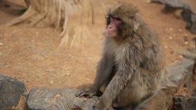 Passeio japonês do macaque vídeos de arquivo