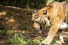 Passeio malayan irritado do tigre Fotos de Stock Royalty Free