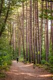 Passeio masculino em uma estrada estreita em uma floresta bonita com as árvores finas altas fotografia de stock royalty free