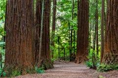 Passeio na floresta das sequoias vermelhas - Rotorua imagem de stock