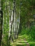 Passeio no bosque do vidoeiro Imagens de Stock Royalty Free