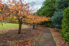 Passeio no jardim com árvores de cereja Fotografia de Stock Royalty Free