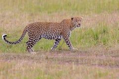 Passeio novo do leopardo foto de stock royalty free