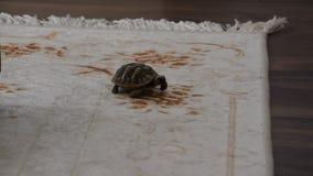 Passeio pequeno da tartaruga interno video estoque