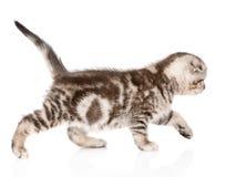 Passeio pequeno do gato de gato malhado Isolado no fundo branco Imagem de Stock