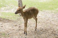 Passeio pequeno fêmea dos cervos Foto de Stock