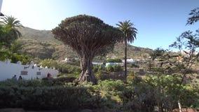 Passeio perto da árvore de dragão a mais velha na ilha de Tenerife vídeos de arquivo