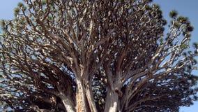 Passeio perto da árvore de dragão a mais velha na ilha de Tenerife filme