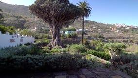 Passeio perto da árvore de dragão a mais velha na ilha de Tenerife video estoque