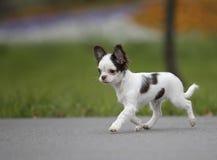 Passeio preto e branco do cachorrinho da chihuahua foto de stock royalty free