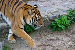 Passeio Siberian do tigre fotografia de stock royalty free