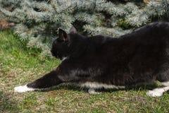 Passeio streching do gato preto Fotos de Stock