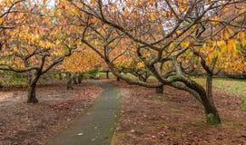 Passeio vazio no jardim com árvores de cereja Fotografia de Stock