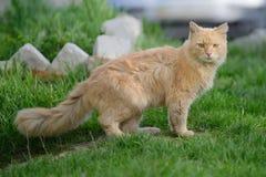 Passeio vermelho macio do gato Fotografia de Stock