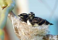 Passen Sie Baby Willie Wagtail-Vögel im Nest im Baum zusammen Stockfoto