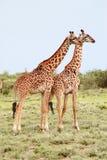 Passen Sie Giraffen in der afrikanischen Savanne auf Hintergrundbüschen zusammen Stockfotos
