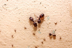 Passen Sie große Ameise der Menge, sie lebte im Haus auf Lizenzfreies Stockfoto