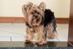 Passen Sie heraus, tollwütiger Hund auf Eigentum auf stockfotos
