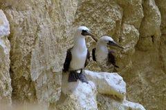 Passen Sie peruanischen Dummkopf, Sula variegata, ein Felsen isla de Balesate, Peru zusammen Stockfotografie