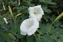 Passen Sie von den Blumen von Stechapfel innoxia zusammen stockbild