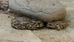 Passen Sie von den Kröten zusammen, die unter einer Steinatmung sich verstecken stock footage